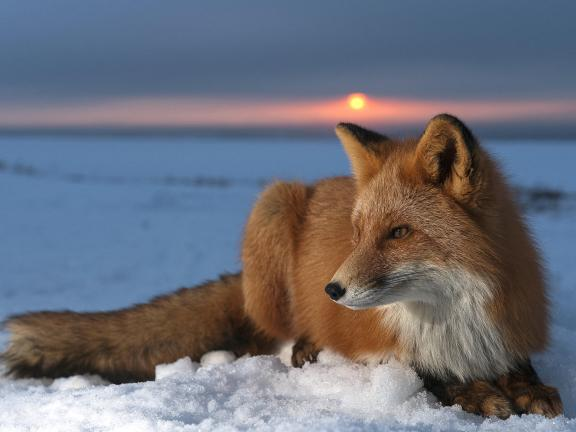Red Fox (Vulpes vulpes) on snow at sunset, Kamchatka, Russia